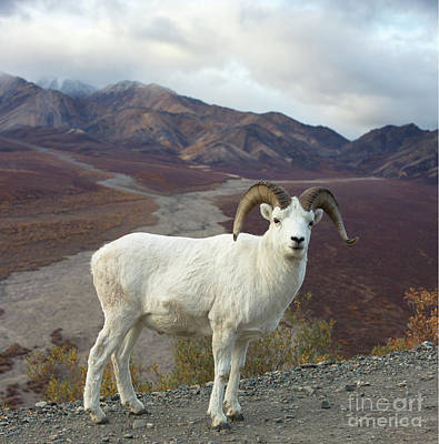 Photograph - Dalls Sheep In Denali by Yva Momatiuk John Eastcott