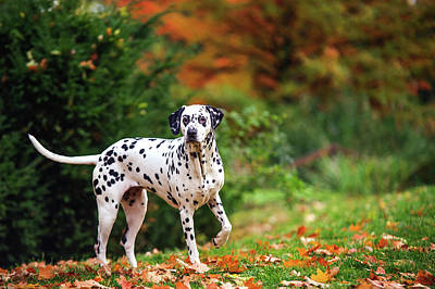 Photograph - Dalmatian Dog In Autumn Woods by Jenny Rainbow