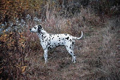 Photograph - Dalmatian Dog In The Autumnal Grass by Jenny Rainbow