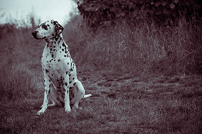 Photograph - Dalmatian Dog In The Autumnal  Woods by Jenny Rainbow