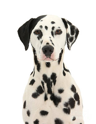 Photograph - Dalmatian Dog Portrait by Warren Photographic