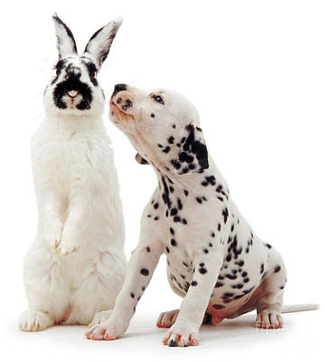 Photograph - Dalmatian Kiss by Warren Photographic