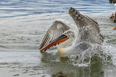 Thomas Kinkade Royalty Free Images - Dalmatian pelican - Pelecanus crispus Royalty-Free Image by Jivko Nakev