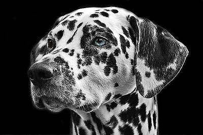 Headshot Digital Art - Dalmation Headshot by Cco