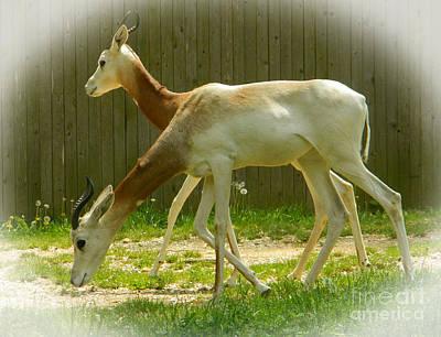 Addra Gazelle Photograph - Dama Gazelle Duo by Emmy Vickers
