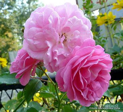 Folkartanna Photograph - Damascen Roses by Anna Folkartanna Maciejewska-Dyba