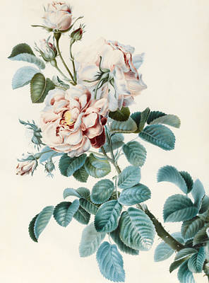 Rose Branch Painting - Damask Rose by CM Bucher