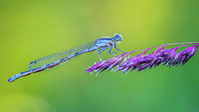 Photograph - Damsel In No Stress by Brad Koop