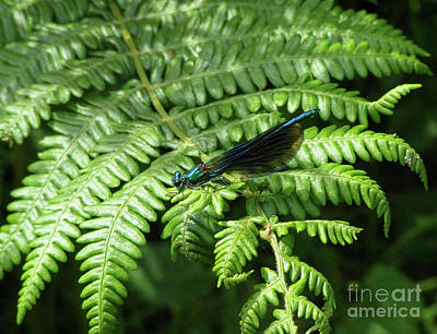 Photograph - Damsel On A Fern by Terri Waters