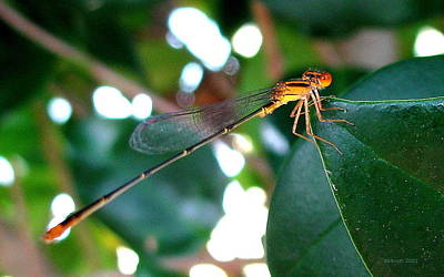 Photograph - Damsel by T Guy Spencer