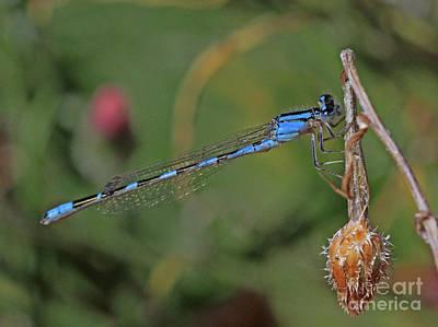 Blue Photograph - Damselflies by Gary Wing
