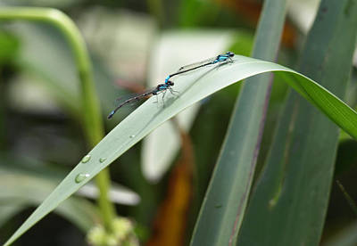Photograph - Damselflies by Katherine Huck Fernie Howard
