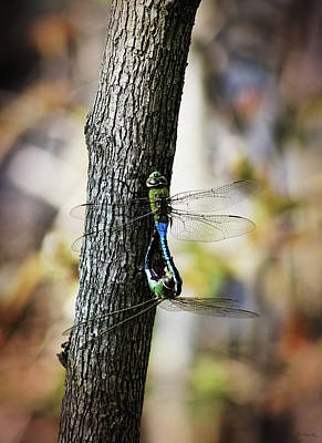 Photograph - Dragonflies Need Love Too by Shawna Rowe