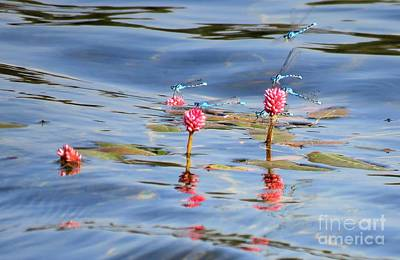 Photograph - Damselflies On Smartweed by Michele Penner