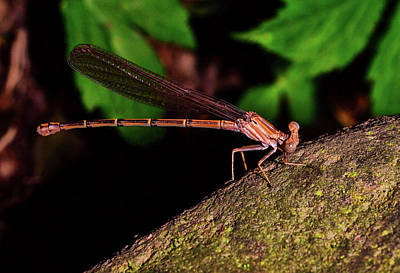 Photograph - Damselfly 006 by George Bostian
