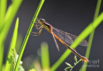 Photograph - Damselfly by Ann E Robson