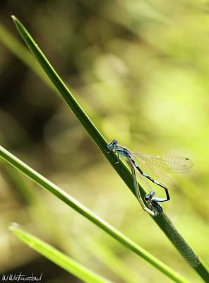 Photograph - Damselfly Mating by Weston Westmoreland