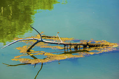 Damselfly On A Lake Art Print