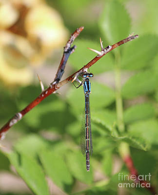 Photograph - Damselfly On Rose Bush by Ann E Robson