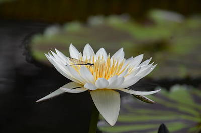 Photograph - Damselfly On White Lotus by Maria Urso