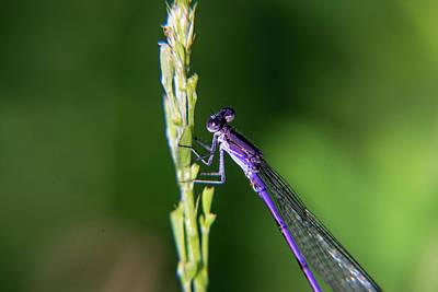 Photograph - Damselfly Perched On Grass Seed Head by Douglas Barnett