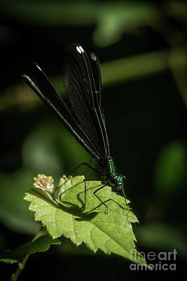 From The Kitchen - Damselfly Resting on a Green Leaf by Dwain Patton
