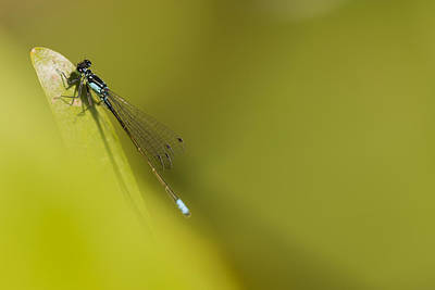 Photograph - Damselfly by Robert Potts