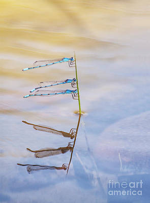 Photograph - Damselfly Trio by Ruth Jolly