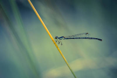 Damselflies Photograph - Damselfy by Shane Holsclaw