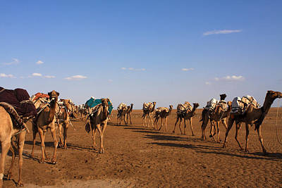 Photograph - Camels In The Danakil Depression by Aidan Moran