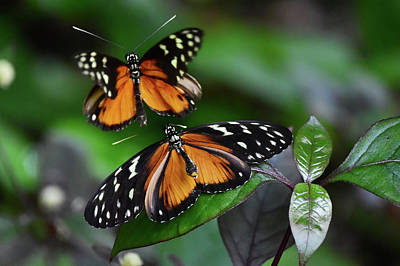 Photograph - Dance Of Butterflies by Mihaela Pater