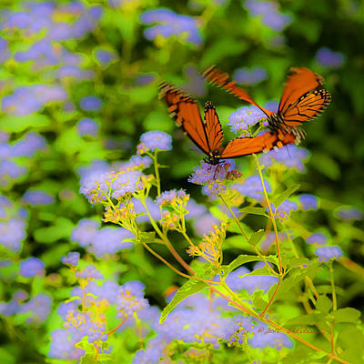 Photograph - Dance Of The Butterflies by Edward Peterson