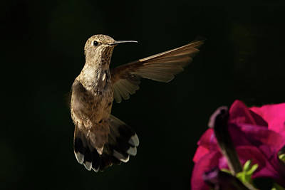 Photograph - Dance Of The Hummingbird by Inge Riis McDonald