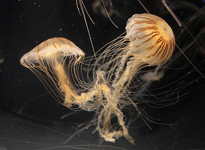 Photograph - Dance Of The Jellies by Jeffrey Ringer