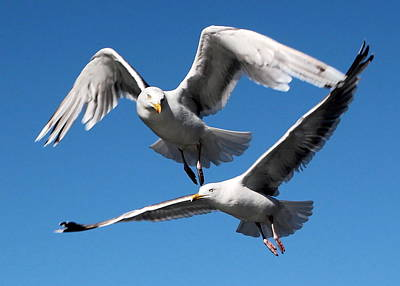 Photograph - Aerial Dance Of The Seagulls by Laurel Talabere
