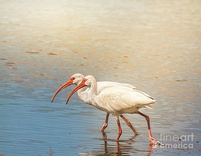 Photograph - Dance Of The White Ibis by Robert Frederick