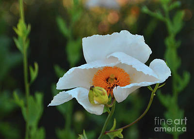 Photograph - Dance Of The Whitie Poppy by Debby Pueschel