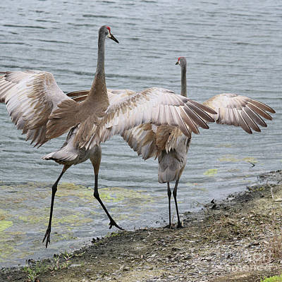 Mating Dance Photograph - Dance With Me by Carol Groenen