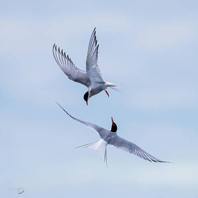 Photograph - Dancing Arctic Terns by Torbjorn Swenelius