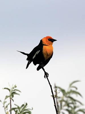 Photograph - Dancing Blackbird by Shane Bechler