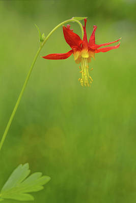 Photograph - Dancing Columbine by Mary Jo Allen