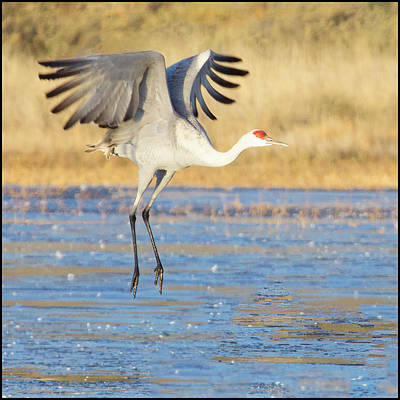 Photograph - Dancing Crane by Marla Craven