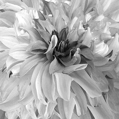 Photograph - Dancing Dahlia Black And White by Michele Avanti