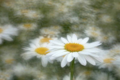 Photograph - Dancing Daisies by Kathleen Clemons