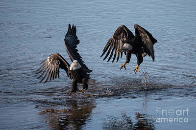 Photograph - Dancing Eagles by Rod Wiens