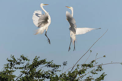 Photograph - Dancing Egrets 2017-1 by Thomas Young