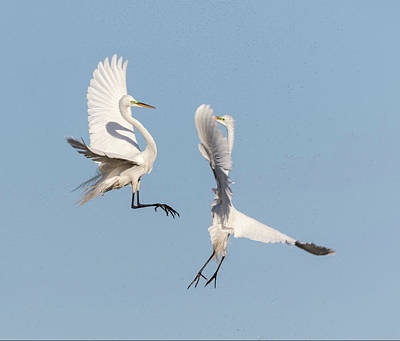 Photograph - Dancing Egrets 2017-2 by Thomas Young