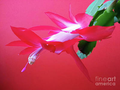 Photograph - Dancing Flower by Jasna Dragun