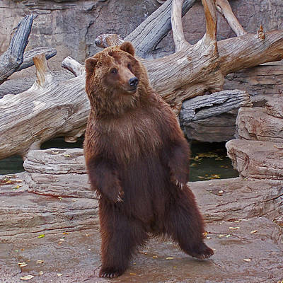 Photograph - Dancing Grizzly by Ernie Echols