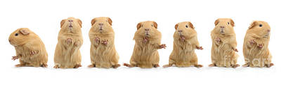 Photograph - Dancing Guinea Pig by Warren Photographic